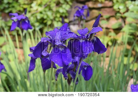 Blooming cluster of Siberian Irises with dew drops on the flower petals.