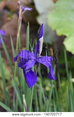 Dark purple budding Siberian iris flower blossom in Spring.