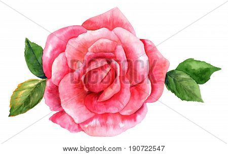 A watercolor drawing of a vibrant pink rose flower, isolated on white, hand painted in the style of vintage botanical art. Decorative element for a greeting card or wedding invitation