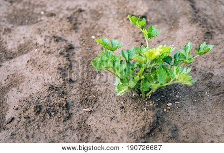 Closeup of a Celeriac plant growing in wet clay ground just after a rain shower.