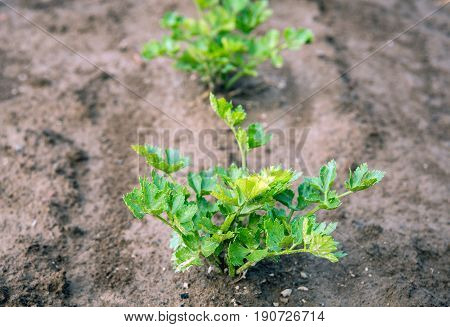 Closeup of a Celeriac plant growing in clay ground just after a rain shower.