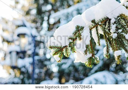 Wintertime - large spruce tree with branches covered with snow