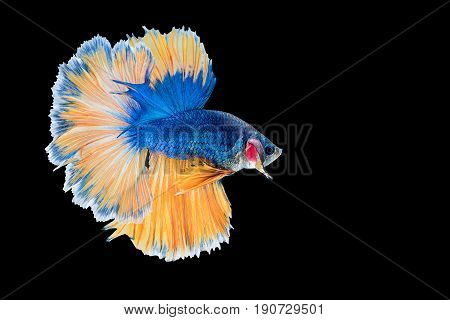 Capture the moving moment of blue yellow siamese fighting fish on black background. Dumbo betta fish