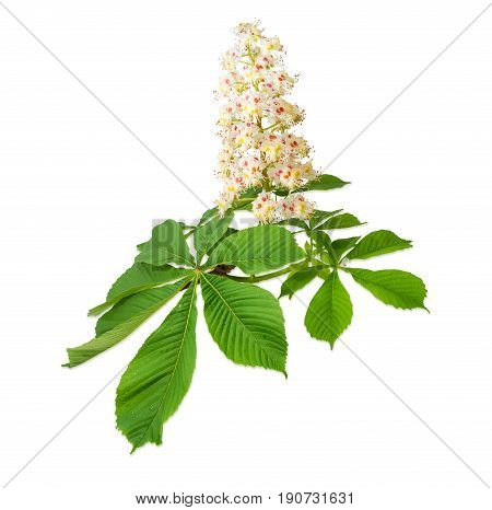 Branch of the blooming horse-chestnuts with leaves and inflorescence on a light background