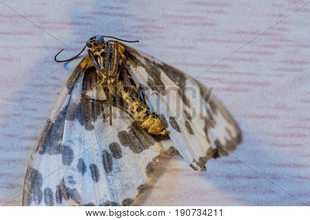 Closeup of a dead moth with white and brown spotted wings.