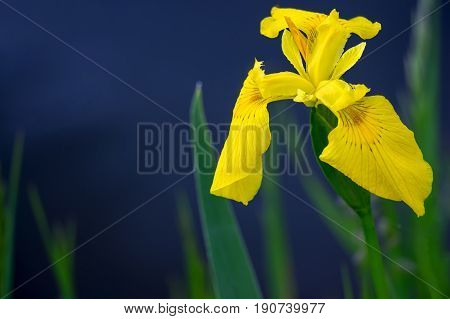 Yellow flag iris pseudacorous on a blurred dark background