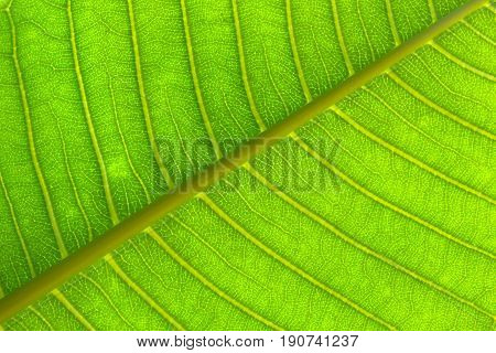 Close-up  texture on green leaves for background. Frangipani leaf.