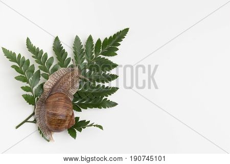 snail on green leaf in white background. Top view