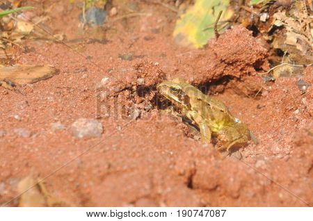 European green tree frog on the road on the edge of the forest. Frog in natural habitat