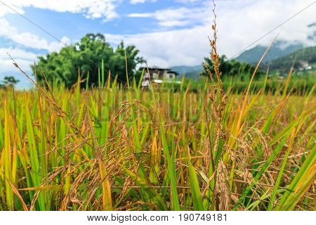 Close Up Image Of A Golden Rice Field In Punakha, Bhutan.