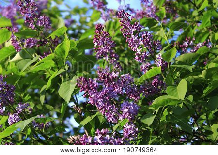 The lilac Bush in summer on a Sunny day. Lilac Bush pictures. A bouquet of lilacs. Flowers bright cluster