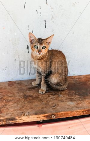 Little Bhutanese Stray Cat With Green Eyes Sitting On A Wooden Bench In A Village In Bhutan.