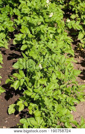 Potato shrubs in the garden. Rural natural agriculture.