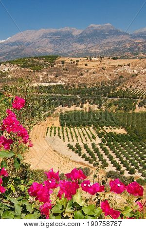 view of the upcountry of the island of Crete with flowers in the foreground olive trees and mountains in the background Greece