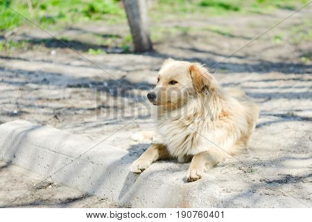 Homeless and free dog in quiet mood under spring sun.