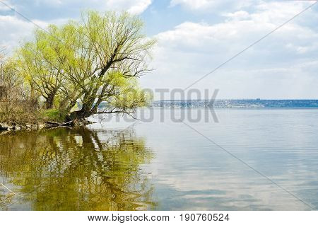 Lonely branchy willow tree beside a big river in spring season..