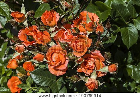 Rose pictures, colored roses, orange roses in the garden,The most spectacular orange rose paintings in the garden during the Rose season,