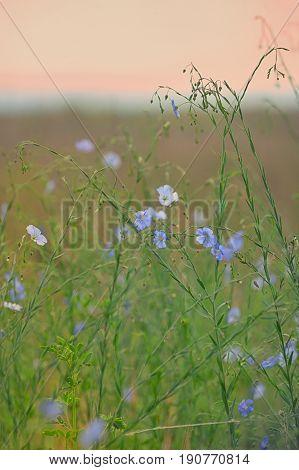 Nemophila flower field blue flowers on field