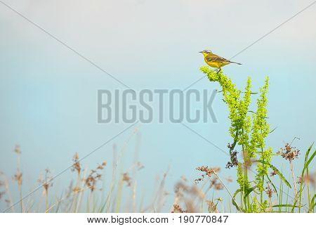Western yellow wagtail (Motacilla flava) on field