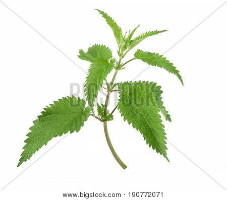 Fresh nettle isolated on a white background