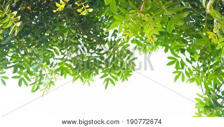 Isolated Green Tree On The White Background.
