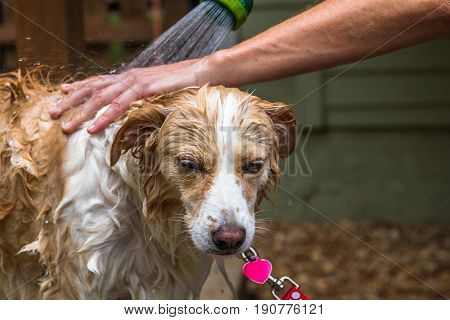 Horizontal closeup photo of the face and chest of a blonde border collie mix being bathed with a human hand and arm and a hose sprayer