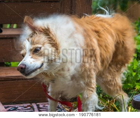 Horizontal photo of a blonde border collie mix staking vigorously right after being washed (some movement blur to show motion)