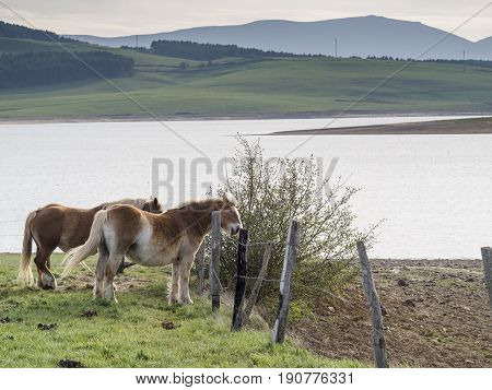 Mare And Horse On Green Meadow Grass Landscapes In Cantabria, Spain.
