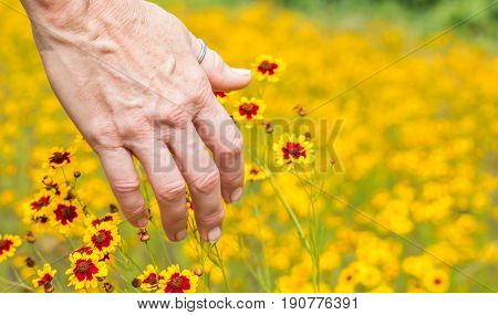 Horizontal photo of the back of a mature caucasian woman's hand touching bright yellow and red wildflowers in a field of the same wildflowers