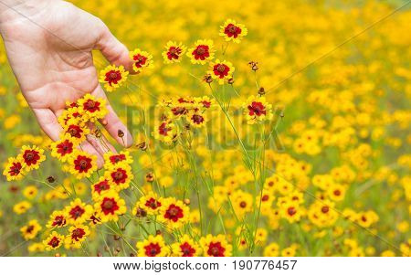 Horizontal photo of the front of a mature caucasian woman's hand brushing bright yellow and red wildflowers in a field of the same wildflowers