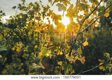 Sunset orange sun. Summer evening in nature. Sheets of currant. Scorching sun rays. Sun through foliage