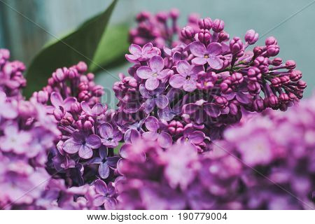 Macro photography of lilac. Purple lilac petals. Rich lilac color. Spring branch of lilac. Close-up