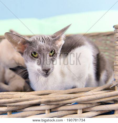Modern gray mottled pure breed Siamese cat
