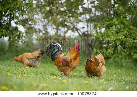 Free Range chickens outdoor at the farm