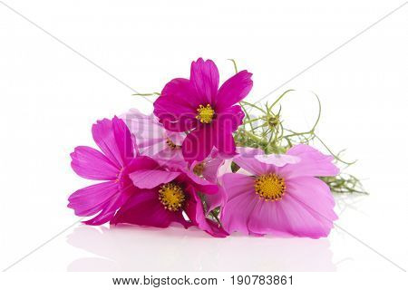 Bouquet pink Cosmos flowers from the garden isolated over white background