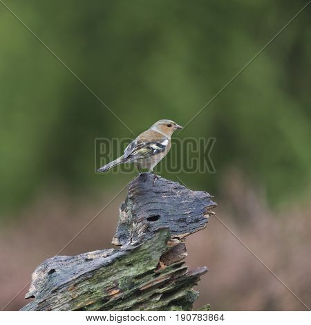 Single female finch resting on branch