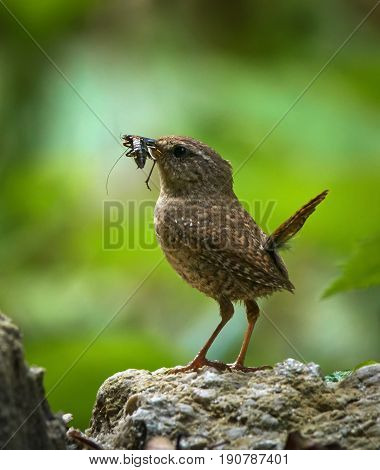 Eurasian Wren With An Insect