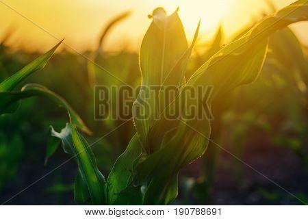 Corn plantation in sunset maize crop plants growing in field