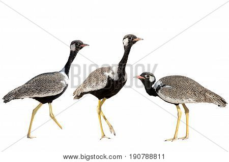 Set of three Northern Black Korhaan standing isolated on white background