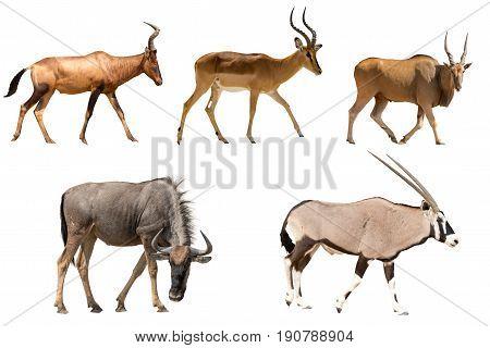 Set of five different antelopes - hartebeest, wildebeest, eland, impala, oryx - isolated on white background