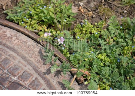 Pink Flower Of Erodium Cicutarium And Blue Flowers Of Veronica Polita Near Manhole