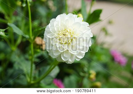 one lovely flower white and beautiful from the family dahlia