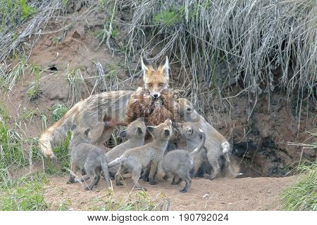 Fox With His Brood Of Cubs