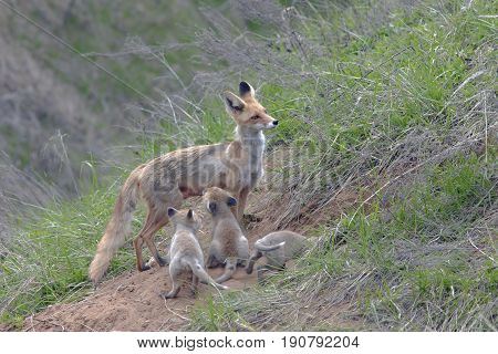 Fox With A Brood Of Cubs
