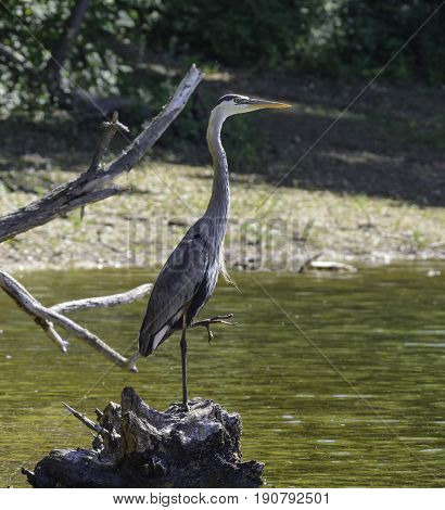 A Great Blue Heron (Ardea Herodias) sitting on a lakeside stump in York County Pennsylvania, USA.  In right profile, holding its left foot up in the air.