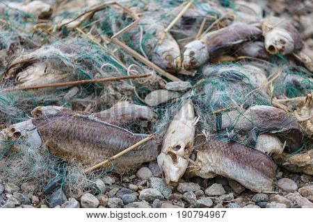 Lot of dead fish entangled in a fishing net on the shore