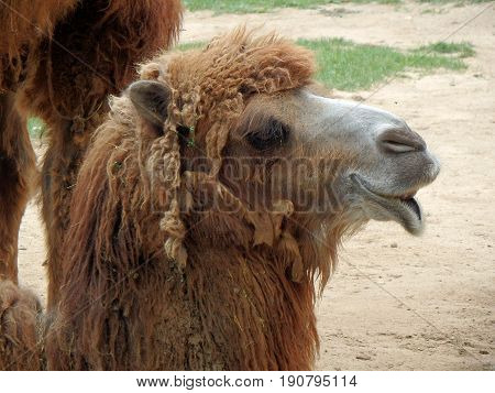 Double hump camel , ( Camelus bactrianus )