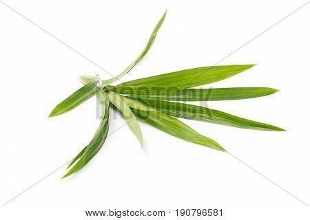 Fresh pandan leaves isolated on white background
