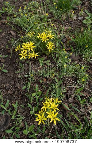 Yellow Star Of Bethlehem Plants In Full Bloom