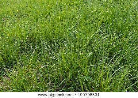 Lots Of Bright Green Tall Grass In Spring